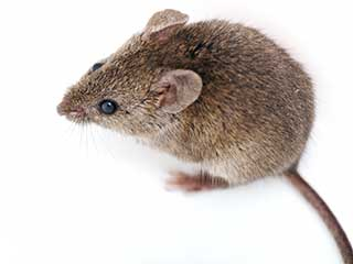 Rodent Control from Hanlon Pest Control Services