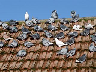 Pest Control of Pigeons and other Birds